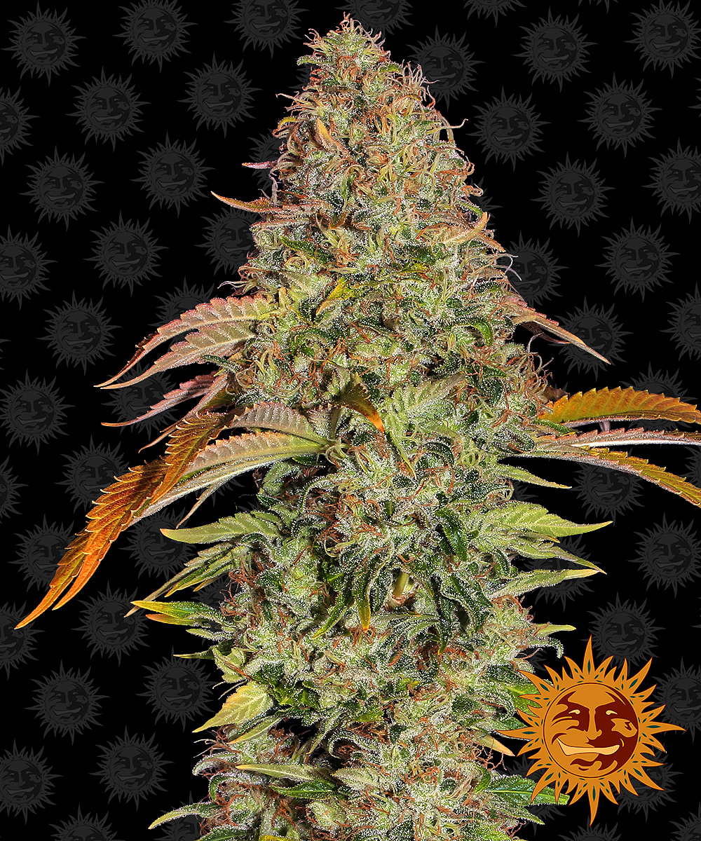ZKITTLEZ OG AUTO™ Autoflowering Cannabis Seeds | BARNEYS FARM®