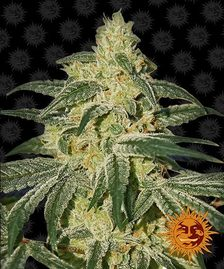 Regular Cannabis Seeds | BARNEYS FARM®