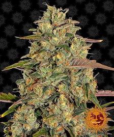 Feminised Seeds | BARNEYS FARM®