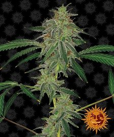 Autoflowering Cannabis Seeds | BARNEYS FARM®