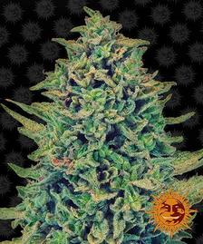 High CBD Strains   BARNEYS FARM® Cannabis Seeds