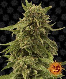 High CBD Strains | BARNEYS FARM® Cannabis Seeds