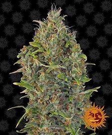 Indica Cannabis Seeds   BARNEYS FARM®