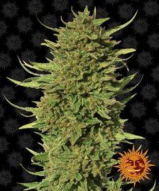Medical Cannabis Seeds | BARNEY'S FARM®