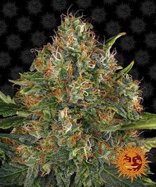 Regular Cannabis Seeds   BARNEYS FARM®
