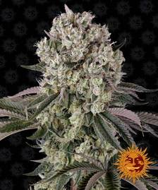 The Cali Collection   Cannabis Seeds