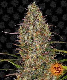 High THC Strains | Cannabis Seeds