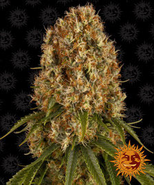 The Cali Collection | Cannabis Seeds