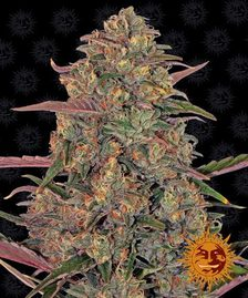 High Yield Cannabis Strains | Cannabis Seeds