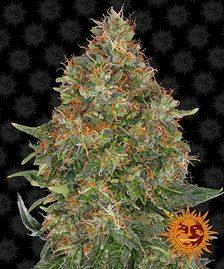 Autoflowering Cannabis Seeds | BARNEYS FARM®
