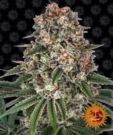 Cannabis & Marijuana Seeds | BARNEYS FARM®