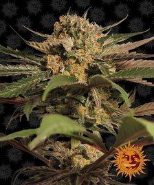 Feminised Seeds | BARNEYS FARM®