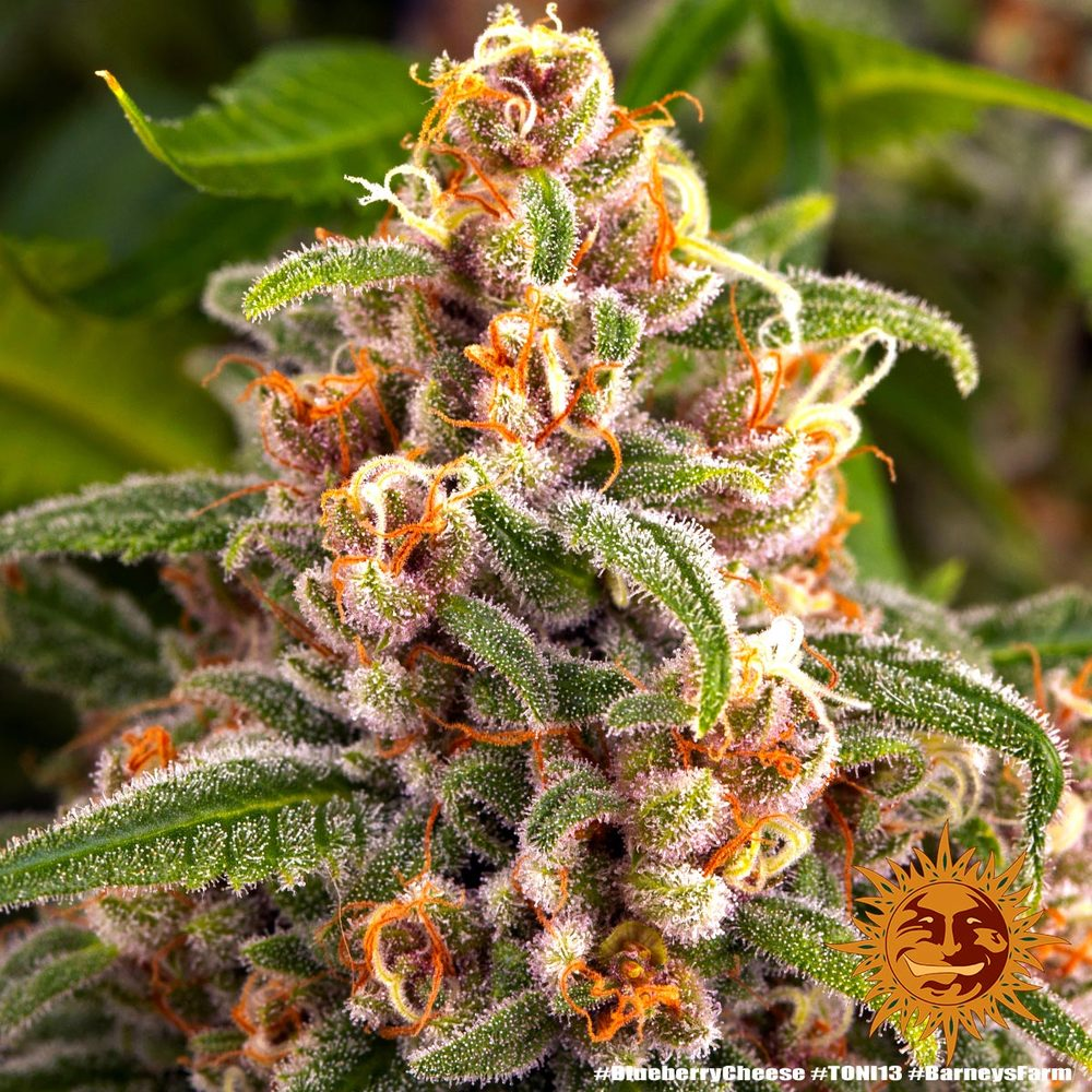 Blueberry Cheese 7