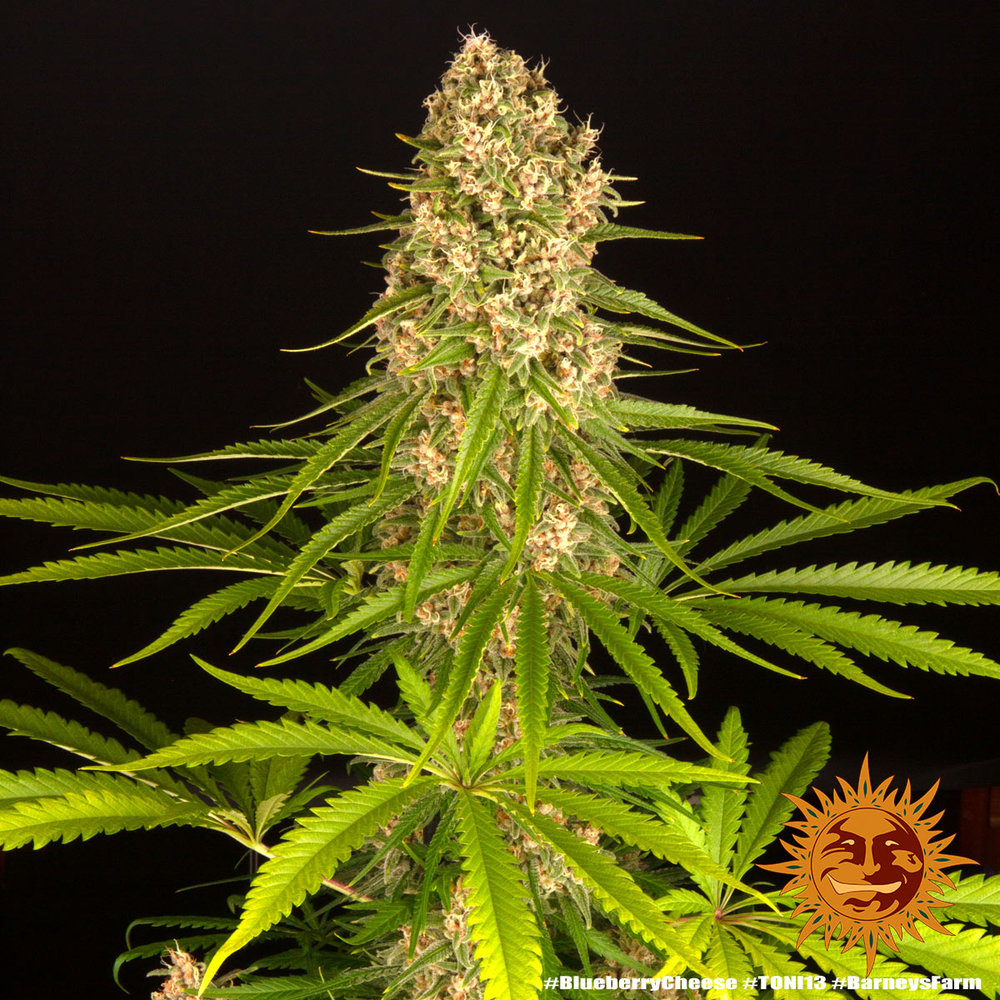 Blueberry Cheese 9