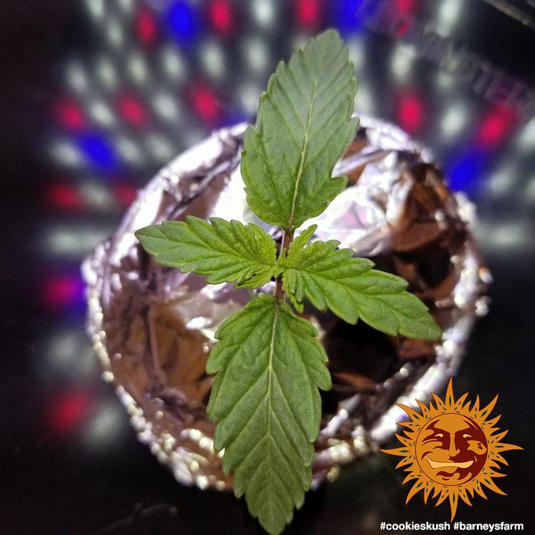 Cookies Kush 1