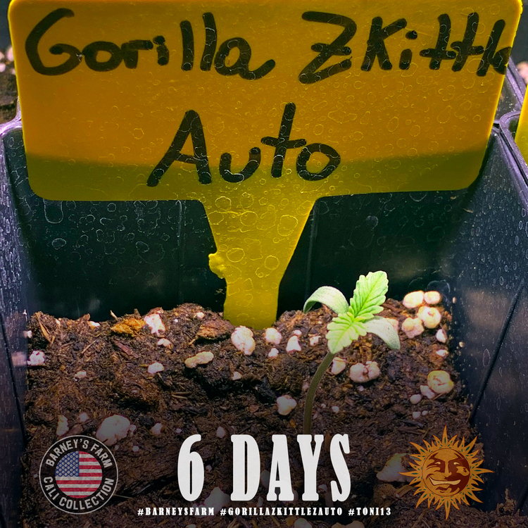 Gorilla Zkittlez Auto 1