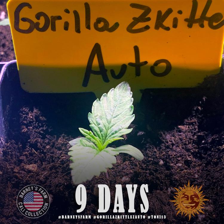 Gorilla Zkittlez Auto 2