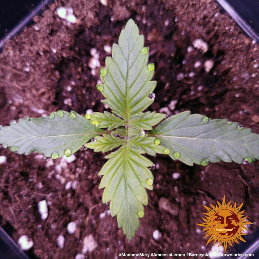 AMNESIA LEMON™ Cannabis Seeds | BARNEYS FARM®