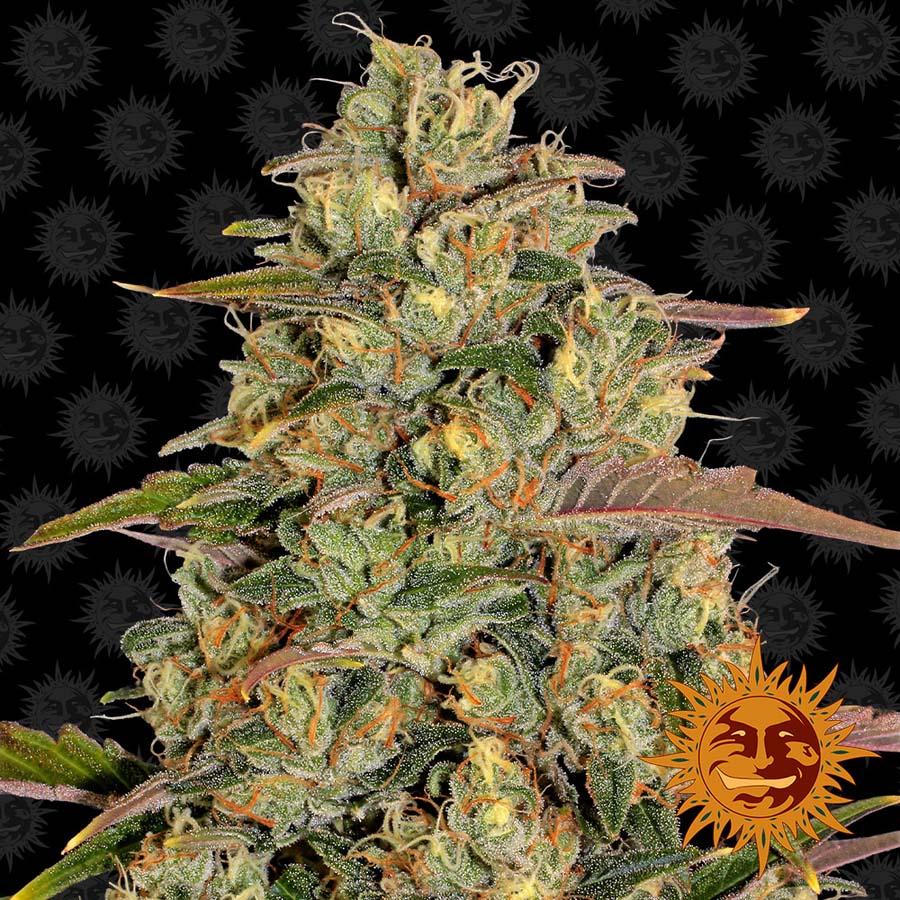 Amnesia Lemon Cannabis Seeds Barneys Farm