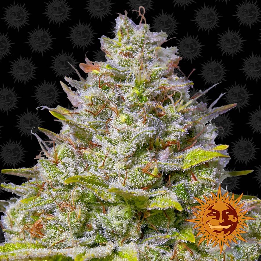 Blue Gelato 41 Cannabis Seeds Barneys Farm