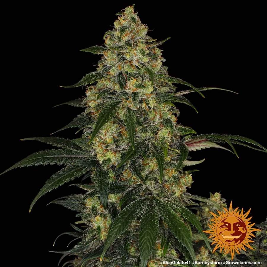 BLUE GELATO 41™ Cannabis Seeds | BARNEYS FARM®