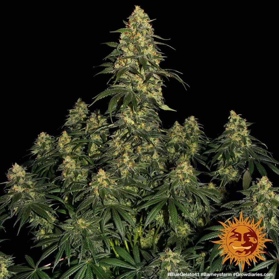 BLUE GELATO 41™ Cannabis Seeds | BARNEYS FARM®