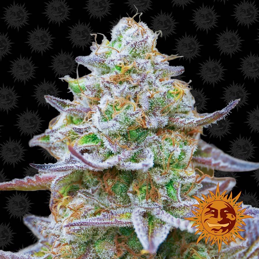 Gorilla Zkittlez Cannabis Seeds Barneys Farm