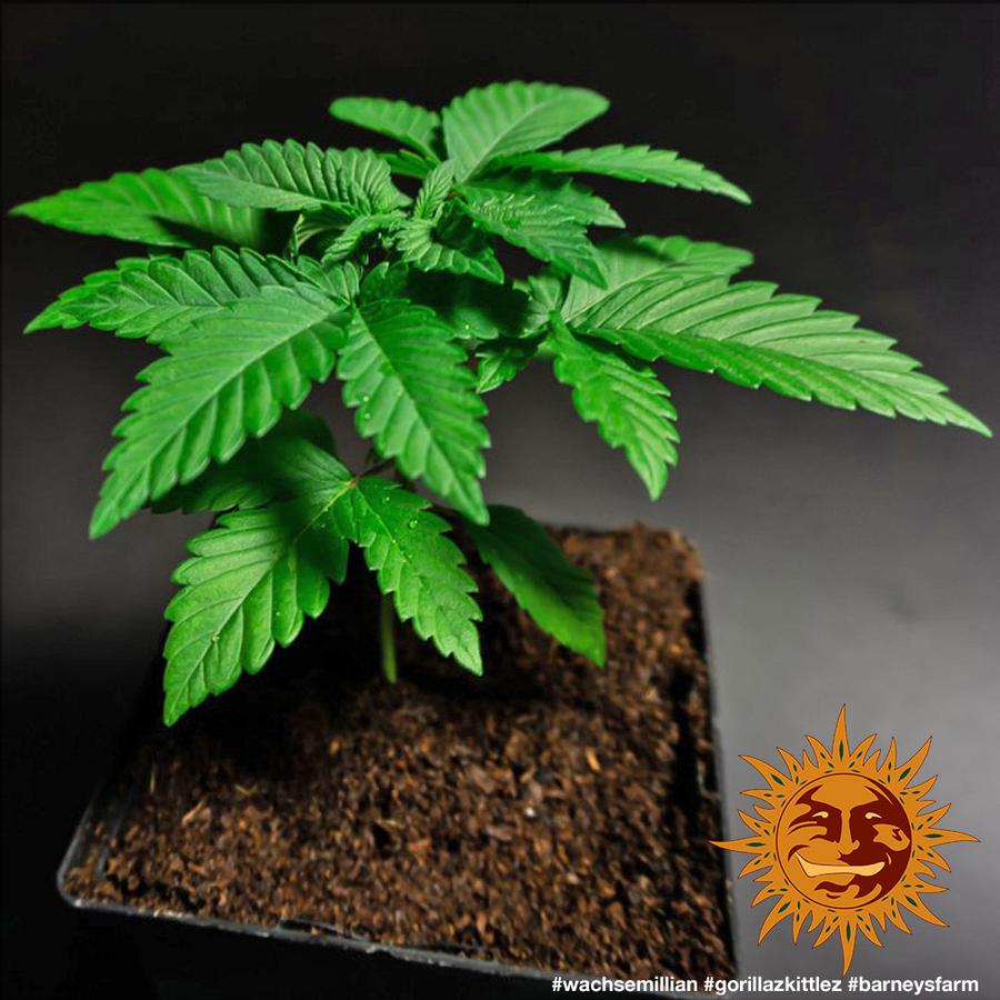 GORILLA ZKITTLEZ™ Cannabis Seeds | BARNEYS FARM®