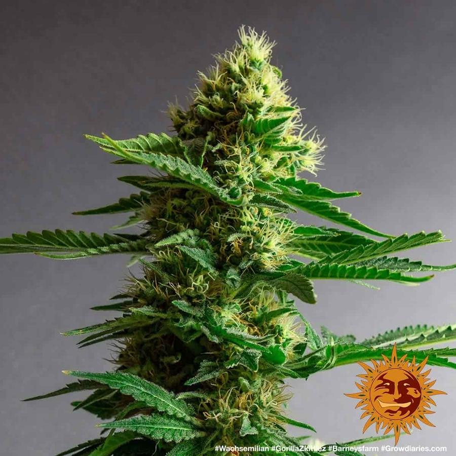 GORILLA ZKITTLEZ™ Cannabis Seeds   BARNEYS FARM®
