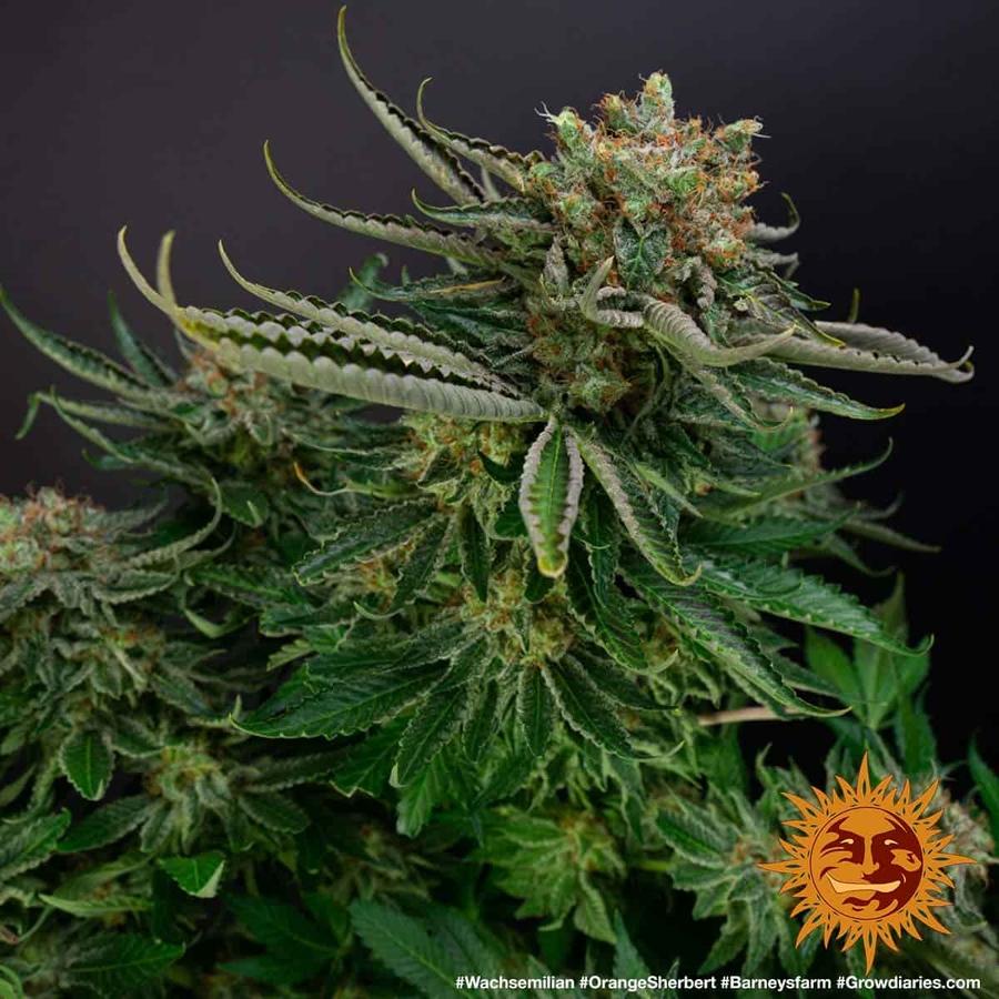 ORANGE SHERBERT™ Cannabis Seeds | BARNEYS FARM®
