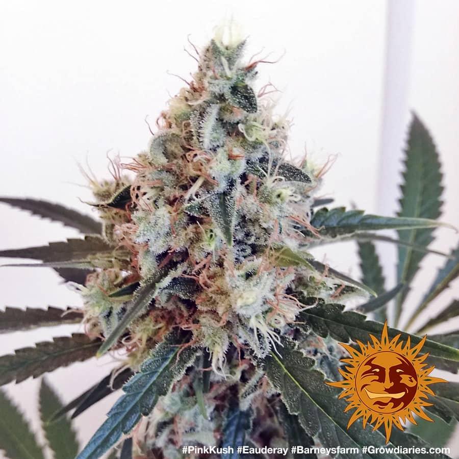 PINK KUSH™ Cannabis Seeds | BARNEYS FARM®