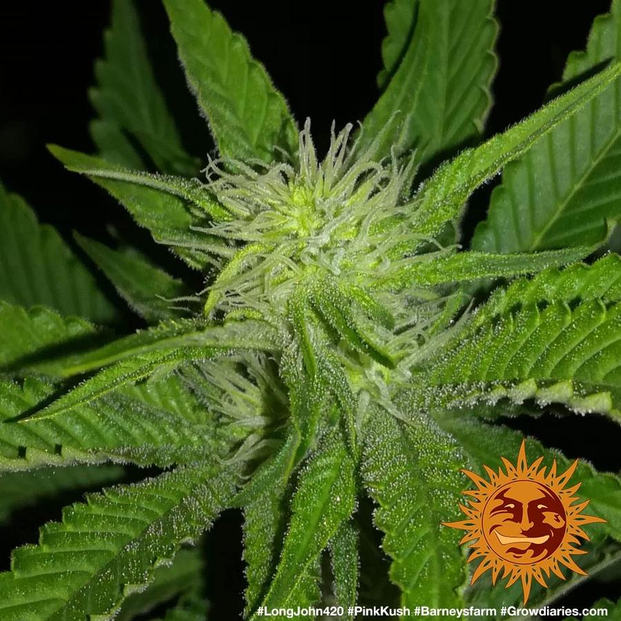 PINK KUSH™ Cannabis Seeds   BARNEYS FARM®