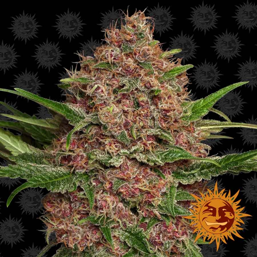 PURPLE PUNCH AUTO™ Autoflowering Cannabis Seeds | BARNEYS FARM®
