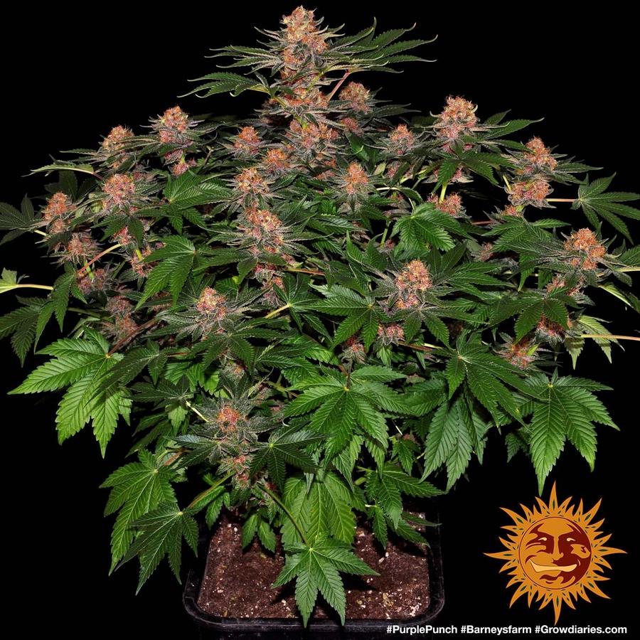 PURPLE PUNCH™ Cannabis Seeds | BARNEYS FARM®