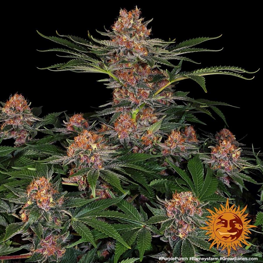 PURPLE PUNCH™   BARNEYS FARM® Semi di Cannabis