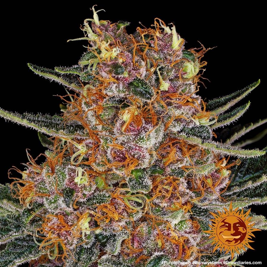 PURPLE PUNCH™ Cannabis Seeds   BARNEYS FARM®