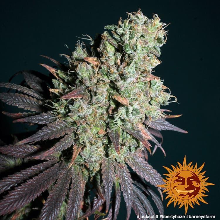 Liberty Haze 6
