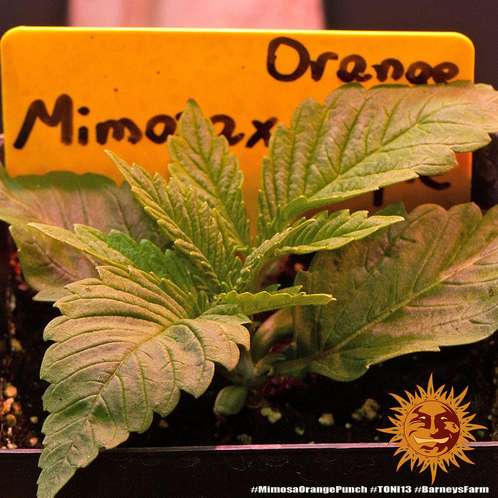 Mimosa x Orange Punch 1
