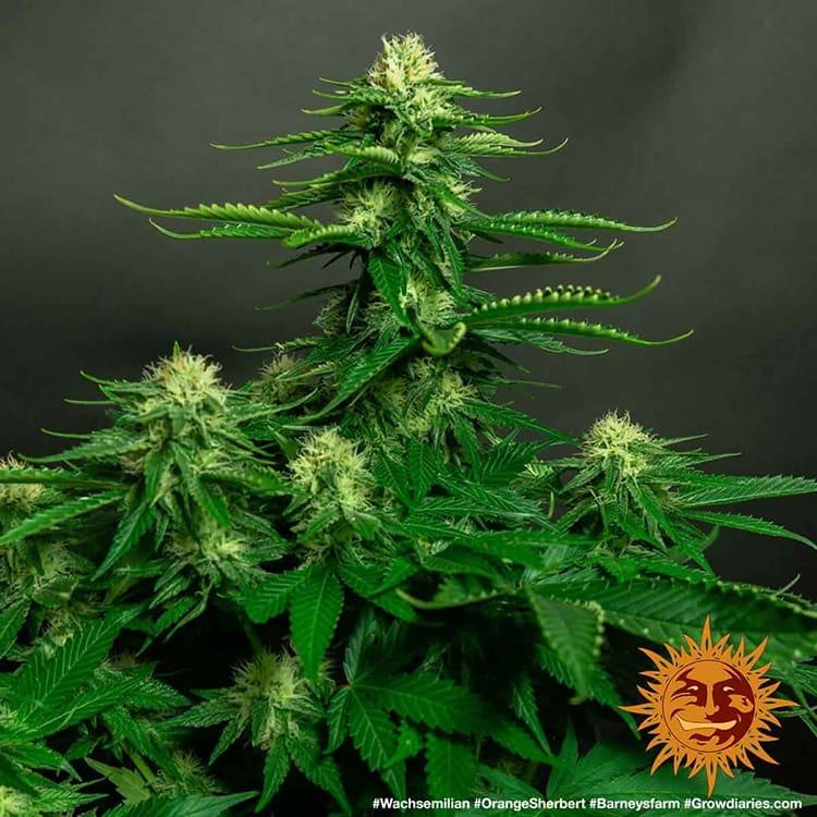 Orange Sherbert 4