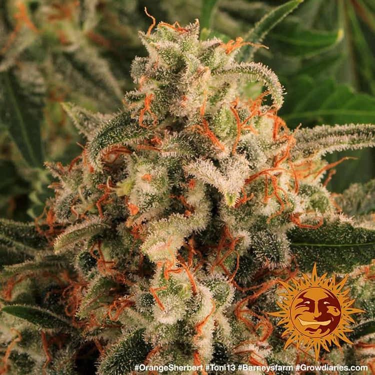 Orange Sherbert 8
