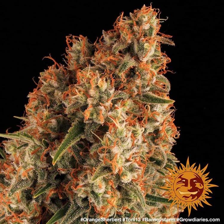 Orange Sherbert 9