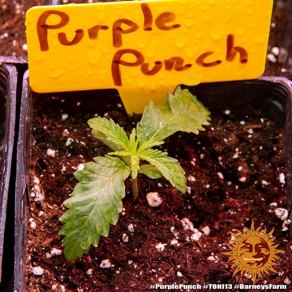Purple Punch 3