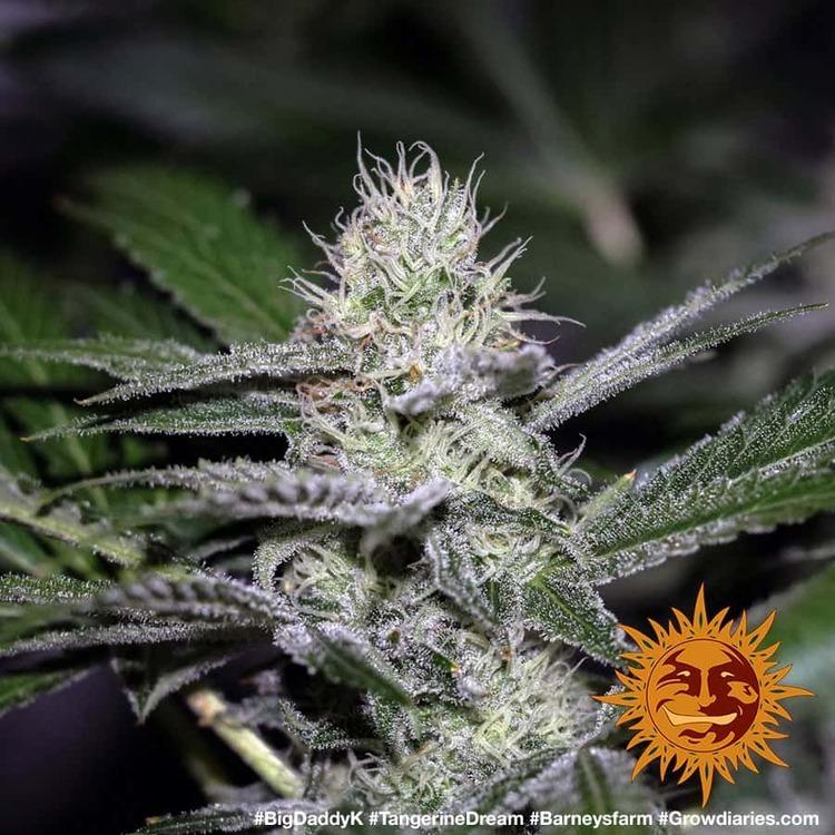Tangerine Dream 8