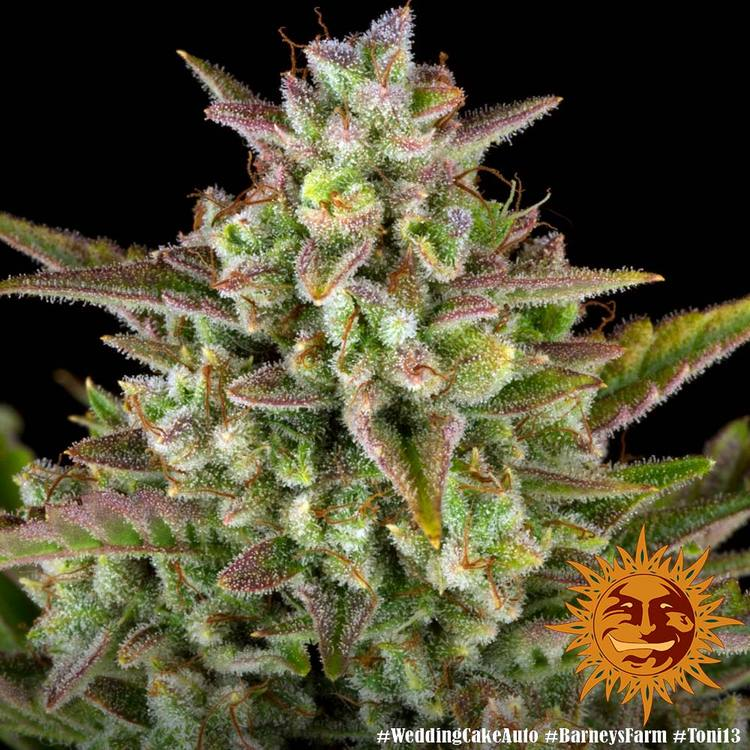 Wedding Cake Auto Autoflowering Cannabis Seeds Barneys Farm